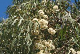 گیاه اکالیپتوس خاصيت ضد باكتريايي دارد