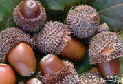 فواید و خواص دارویی پوست تنه درخت و میوه بلوط