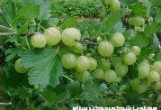 فواید و خواص دارویی میوه آمله یا آملج