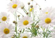 خواص و فواید گل بابونه