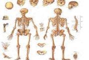 قسمتهاي مختلف استخوان بندي(نماي جلويي وبشتي)
