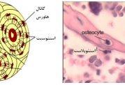 سلول های بافت استخوانی