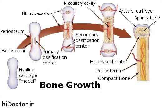 رشد و نمو استخوان ها و عوامل موثر بر رشد