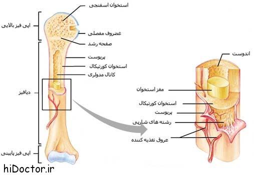 مبحث ساختار استخوان های بدن انسان