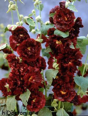 اطلاعات کامل درباره «گل ختمی»