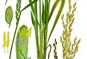 آیا  آب برنج باعث زیبایی پوست میشود؟