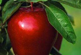 خواص میوه ی سیب