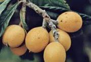 خواصی چند از میوه ازگیل