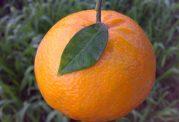خاصیت  منحصر بفرد پرتقال