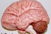 چند نکته جالب درباره مغز انسان
