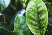 روغن درخت چای چه مشکلاتی را بر طرف میکند؟