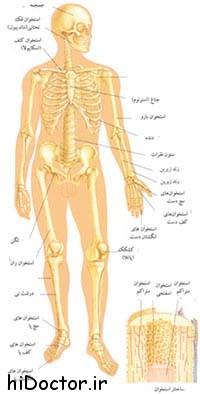 آناتومی اسکلتی بدن را بهتر بشناسیم