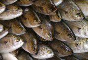 چرا باید در رژیم غذایی خود از ماهی استفاده کنیم