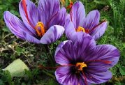 چگونه بفهمیم که یک زعفران مرغوب است؟