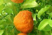 عکس های میوه ی نارنج