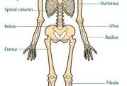 عملکرد استخوان در بدن انسان