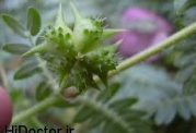 درمان بیماری های صعب العلاج با این گیاه!