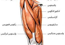 تعریف عضلات آگونیست (موافق) Agonist