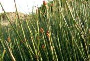 درمورد گیاه افدرا چه می دانید