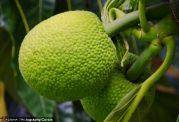 معرفی میوه ای سبز با بافت سیب زمینی