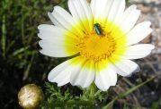 عکس های زیبا و دیدنی از گل داوودی