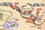 تاثیرات سنتز پروتئین بر رشد عضلات