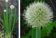 عکس های گل و گیاه پیاز
