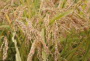 سبوس برنج چه خاصیت دارویی دارد؟