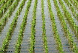 خواص و فواید برنج و عکس هایی از آن
