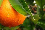 عکس هایی از نارنج و خواص آن
