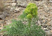 آنغوزه گیاهی کوهی و کم یاب