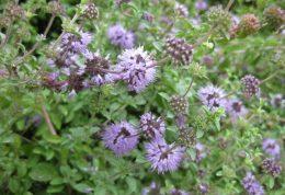 پونه کوهی گیاهی برای تقویت معده