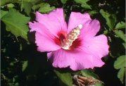 ختمی گلی که فواید زیادی دارد