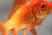 موارد مهم در مورد ماهی سفره هفت سین