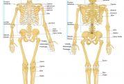 انواع استخوان بر حسب شکل