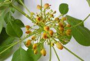عصاره  برگ این گیاه که با اضافه وزن مقابله میکند