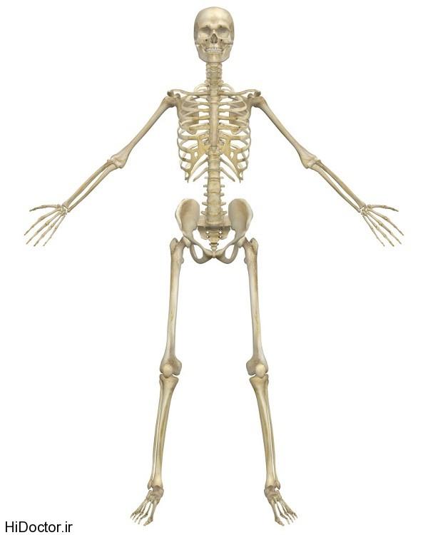 استخوان بندی یک فرد بالغ و قسمت های آن