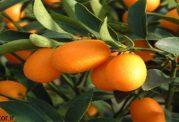 کامکوات - پرتقال طلایی در خدمت سلامتی شما