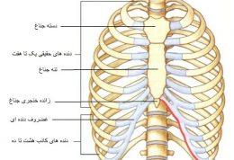آناتومی قفسه سینه و دنده ها