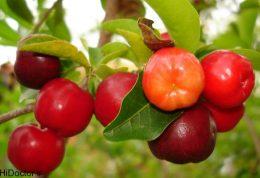 عکس های میوه آسرولا
