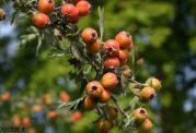 تصاویری از میوه زالزالک