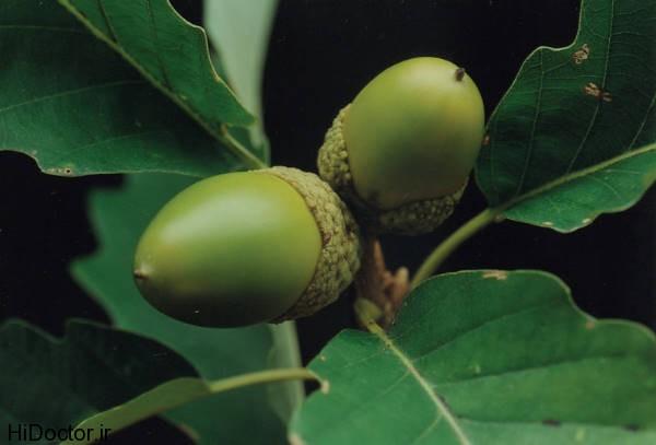 عکس هایی از میوه بلوط