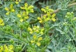 در از بین بردن سلول های سرطانی گیاه سداب فواید بی نظیری دارد