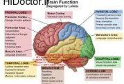 سلولهای خاکستری مغز و زبان دوم