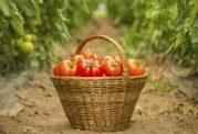 کالری موجود در خیار و گوجه فرنگی و لاغری با آن
