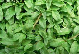 توصیه هایی در مورد گیاه پونه