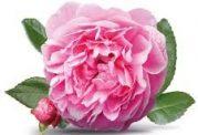 گل محمدی و کاسنی و درمان افسردگی