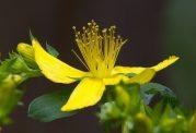گیاه هوفاریقون و این تاثیرات مفید