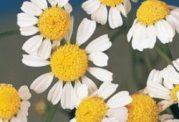 مقابله با سینوزیت با گل بابونه