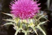 دیابتی ها و استفاده از این گیاه